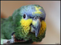 Ozzy Orange Winged Amazon Parrot