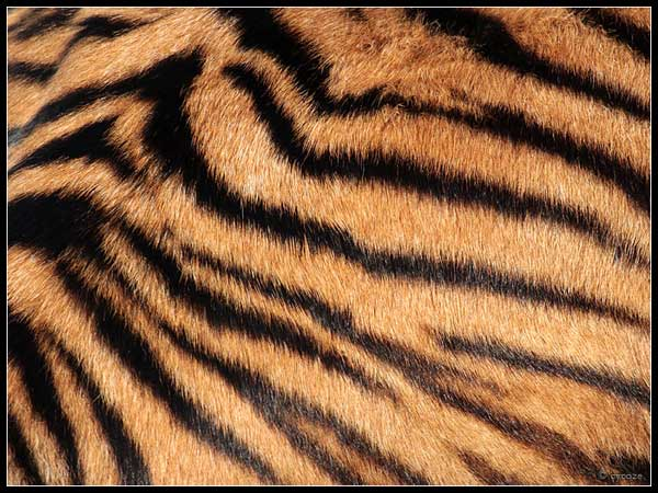 Real Tiger Pattern Pics for > real tiger pattern